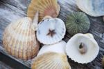 Thumbnail Mussels, snail shell, starfish and sea anemone on a wooden table