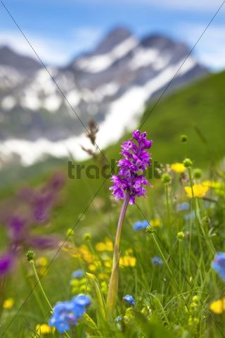 Orchid (Orchis) on a mountain meadow in Alpstein, Switzerland, Europe