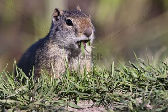 Uinta ground squirrel (Spermophilus armatus), Grand Teton National Park, Wyoming, America, United States