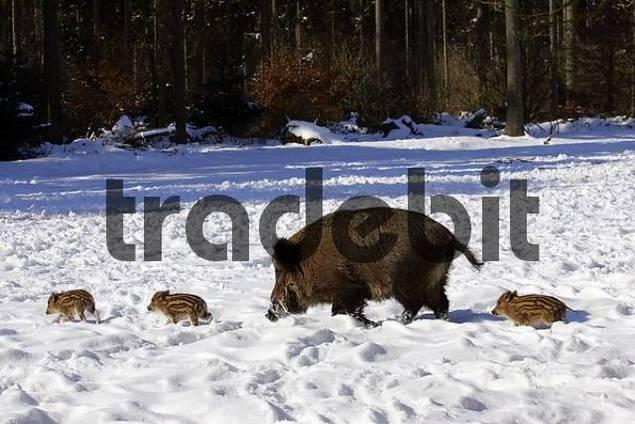 Wildschwein-Bache läuft mit Frischlingen durch Schnee im Wald Sus scrofa