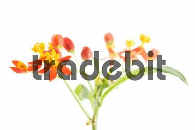 Silk Flower Asclepias curassavica