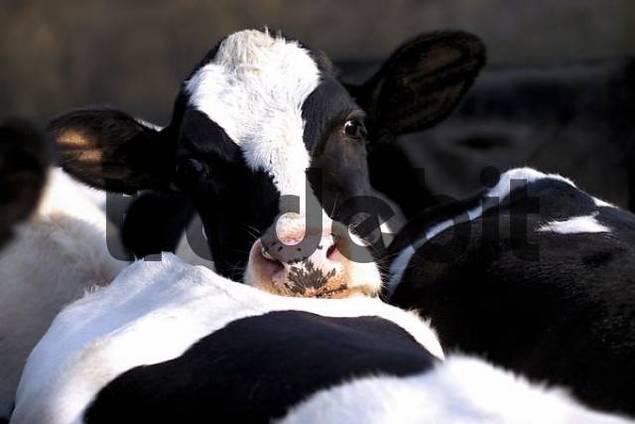 Kühe, Deutsche Schwarzbunte Deutsche Holstein